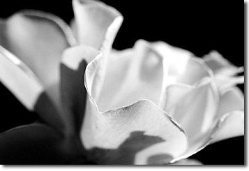 Picture of Rose in Black and White, Moraga, CA
